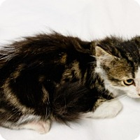 Adopt A Pet :: Cookie Creme - Oakland Park, FL