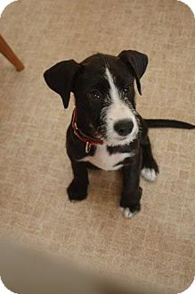 Border Collie/Jack Russell Terrier Mix Puppy for adoption in Sinking Spring, Pennsylvania - Daisy