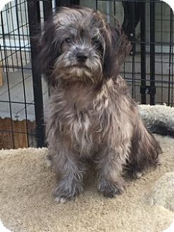 Terrier (Unknown Type, Small)/Poodle (Miniature) Mix Puppy for adoption in McKinney, Texas - Olsen