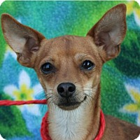 Adopt A Pet :: GIZMO:Low fees neutered - Red Bluff, CA