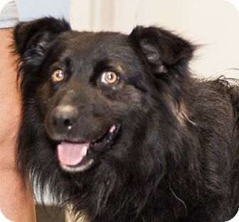 Australian Shepherd Mix Dog for adoption in Martinsville, Indiana - Dirk