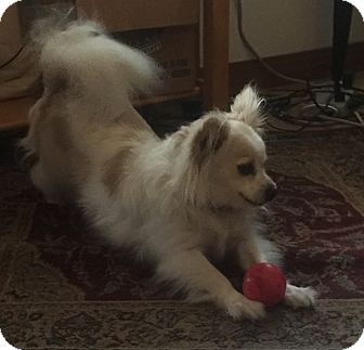Papillon Mix Dog for adoption in Worcester, Massachusetts - George Harrison