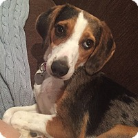 Beagle Mix Dog for adoption in oklahoma city, Oklahoma - Lina