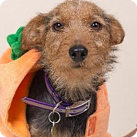Yorkie, Yorkshire Terrier Mix Dog for adoption in Pt. Richmond, California - AUTUMN