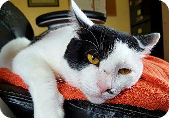 Domestic Shorthair Cat for adoption in Salisbury, Massachusetts - Pinto