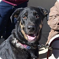 German Shepherd Dog/Great Dane Mix Dog for adoption in Greensboro, North Carolina - Duncan