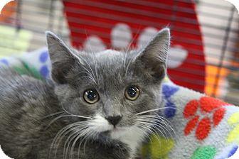 Domestic Shorthair Kitten for adoption in Sarasota, Florida - Nyk
