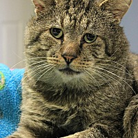 Domestic Shorthair Cat for adoption in New Richmond,, Wisconsin - Robert