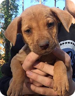 Labrador Retriever/Hound (Unknown Type) Mix Puppy for adoption in Grafton, Wisconsin - Cubby - PENDING