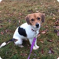Adopt A Pet :: Lulu - Mount Holly, NJ