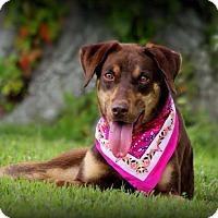 Adopt A Pet :: Joy - Dixon, KY