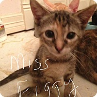 Adopt A Pet :: Miss Figgy - Wichita Falls, TX
