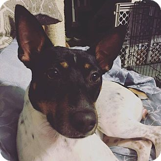 Rat Terrier Mix Puppy for adoption in Acushnet, Massachusetts - Sasha
