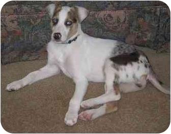 puppy haughton la catahoula leopard dog australian shepherd mix