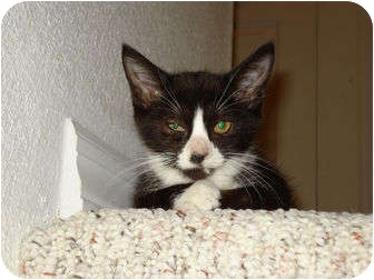 Domestic Shorthair Kitten for adoption in Orlando, Florida - Dot