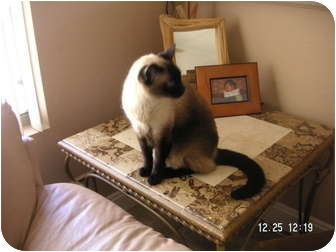 Siamese Cat for adoption in Phoenix, Arizona - BIG MAC
