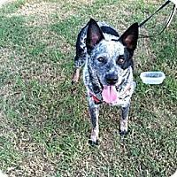 Adopt A Pet :: Ozzie - Phoenix, AZ