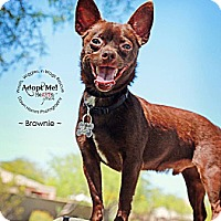 Adopt A Pet :: Brownie - Scottsdale, AZ