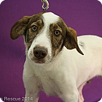 Adopt A Pet :: Harley - Broomfield, CO