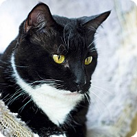 Domestic Shorthair Cat for adoption in West Palm Beach, Florida - Pirelli