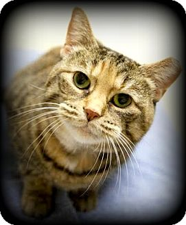 Domestic Shorthair Cat for adoption in Montclair, New Jersey - Brittany