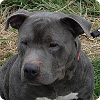 Pit Bull Terrier Mix Dog for adoption in Monroe, Michigan - Shashi
