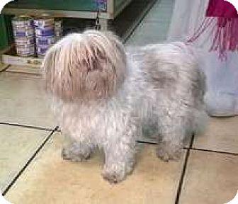Shih Tzu Mix Dog for adoption in Sedona, Arizona - Chi