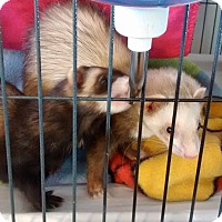 Ferret for adoption in Navarre, Florida - Thelma