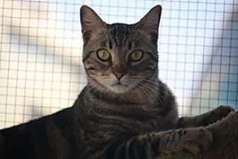 Domestic Shorthair Cat for adoption in Riverside, California - Avatar