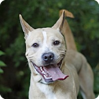 Jindo Mix Dog for adoption in Port Washington, New York - Butter