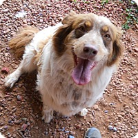 Australian Shepherd Dog for adoption in dewey, Arizona - Inky-Dinky
