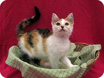 Domestic Shorthair Kitten for adoption in Redwood Falls, Minnesota - Adele