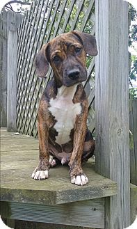 Jack Russell Terrier/Pit Bull Terrier Mix Puppy for adoption in Northeast, Ohio - Loki