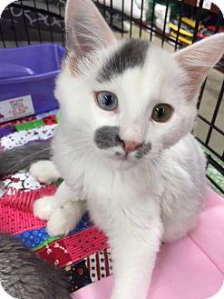 Domestic Mediumhair Kitten for adoption in Burbank, California - Kairo
