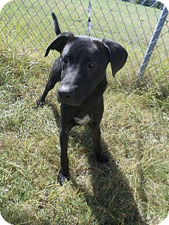 Labrador Retriever Mix Dog for adoption in Cleveland, Mississippi - RODY
