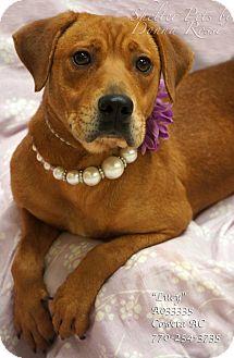 Labrador Retriever Mix Dog for adoption in Newnan City, Georgia - Lucy