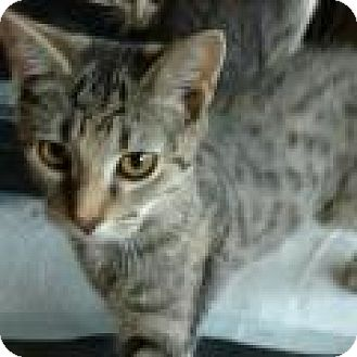 Domestic Shorthair Cat for adoption in Shelbyville, Kentucky - Sahara