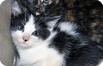 Domestic Mediumhair Kitten for adoption in Wildomar, California - 323243