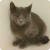 Russian Blue Kitten for adoption in Texas City, Texas - A006033