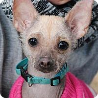 Adopt A Pet :: Scully - Philadelphia, PA