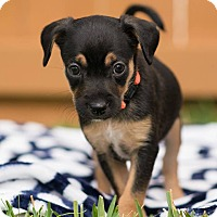 Adopt A Pet :: Sophie - Fort Atkinson, WI
