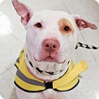 Adopt A Pet :: Sugar- Courtesy Listing - Fredericksburg, VA