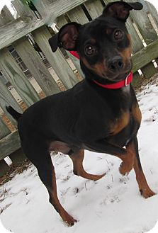 Miniature Pinscher Dog for adoption in Forked River, New Jersey - Toonie
