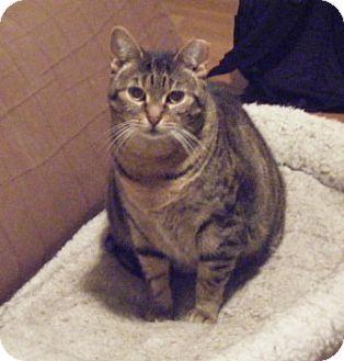 Domestic Shorthair Cat for adoption in Kensington, Maryland - Savannah