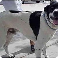 Adopt A Pet :: Bogey - Las Vegas, NV