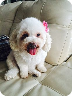 Miniature Poodle Mix Dog for adoption in Orange, California - Luna