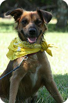 Brattleboro Vt Labrador Retriever Pekingese Mix Meet Skye A Dog For Adoption