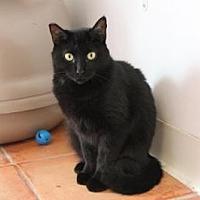 Domestic Mediumhair Cat for adoption in Sebastian, Florida - Ella