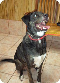Labrador Retriever Mix Dog for adoption in Madisonville, Louisiana - Zeus