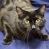 Domestic Shorthair Cat for adoption in Edmond, Oklahoma - Dobby